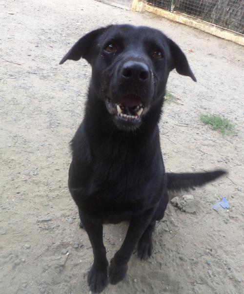 JUMKO - x labrador noir 4 ans (3 ns de refuge)  - ASPAC à Chatelaillon (17) 102e8ea5422a