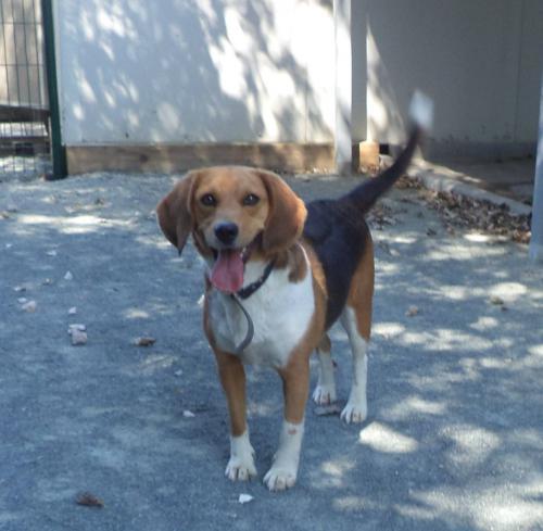 DOMm - beagle 4 ans - ASPAC à Chatelaillon (17) 689930cac2c4
