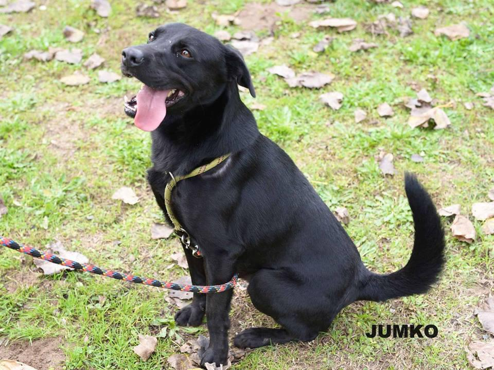 JUMKO - x labrador noir 4 ans (3 ns de refuge)  - ASPAC à Chatelaillon (17) 6809f7bbea22