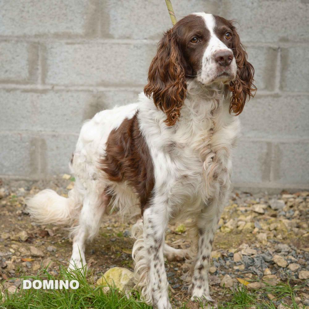 DOMINO - epagneul français10 ans - ASPAC à Chatelaillon (17) A591314c41e9